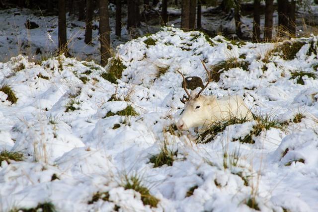 Valkoinen poro, Kuusamo. Kuva: Niko Saarinen Photography