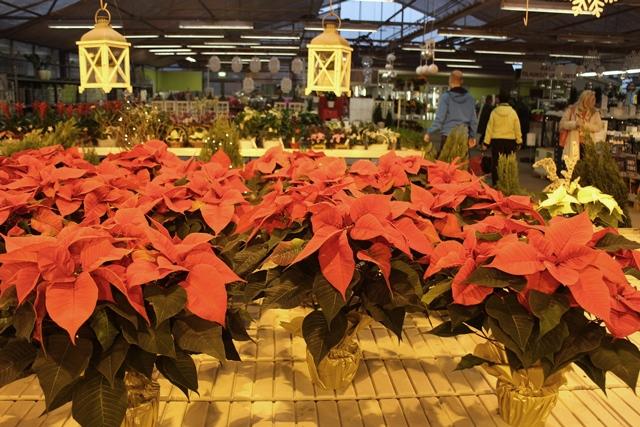 Kukkatalon upeat joulutähdet viihtyvät keltaista valoa hehkuvien kasvatuslamppujen alla. Kuva: KivaaTekemistä.fi