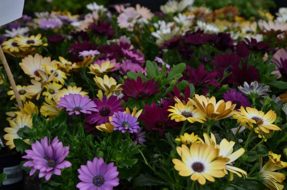 Kivapihan kukkalan kukkaloistoa. Kuva: Kivapiha